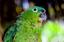 blue naped parrot von Craig Lapsley