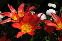 Red Tulips and White Daisies by Louise Heusinkveld