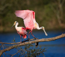 Courting Spoonbills by Louise Heusinkveld