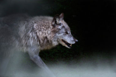Wolf-on-the-prowl0600-2