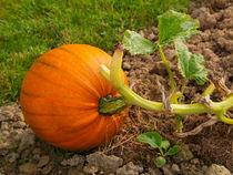 Pumpkin0355