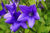 Karpaten-glockenblumen