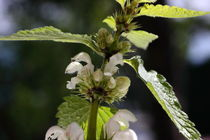 Blühende Taubnessel - Blossoming nettle by ropo13