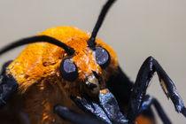 Yellow-moth-246
