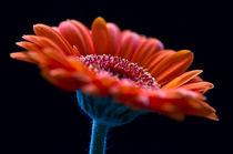 Orange Germini. von Mark Aynsley