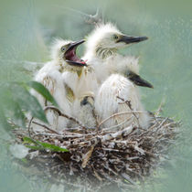 Cattle Egret Nestlings von Betty LaRue
