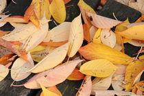Blätter der Vogelkirsche von alsterimages