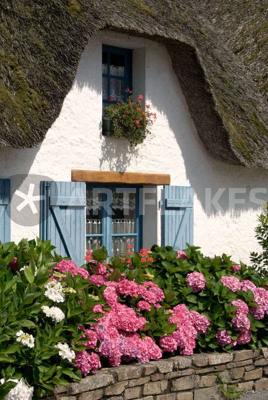 hydrangeas before thatched cottage hortensien vor haus mit rieddach fotografie als poster und. Black Bedroom Furniture Sets. Home Design Ideas