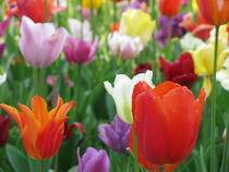 Bunte Tulpen von Heike Rau