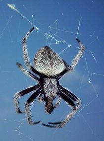 Garden Orb Weaving Spider by ian cuming
