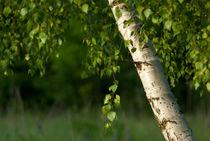 Spring birch by photogatar