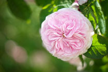 Pink rose by photogatar