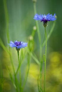 Cornflowers by photogatar