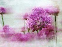 Alliumblüten von claudiag