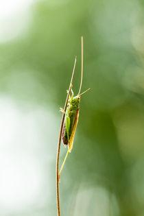 Grasshopper by Marcel Derweduwen