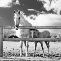 White mare and her foal looking curiously through a fence by kbhsphoto