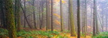 Misty Autumn Forest Panorama by Craig Joiner