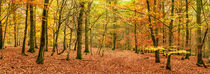 Beech Woodland in Autumn von Craig Joiner
