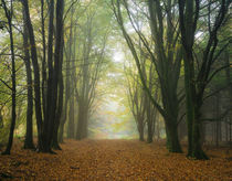 Misty Beech Tree Woodland by Craig Joiner