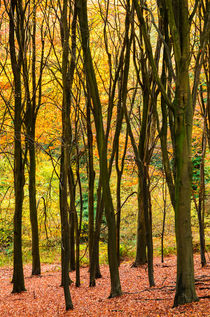 Autumn Beech Woodland von Craig Joiner