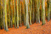 Beech Trees by Craig Joiner