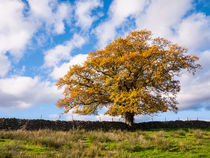 Oak Tree Autumn Colour by Craig Joiner