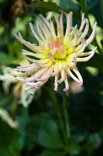 Cactus dahlia by photogatar