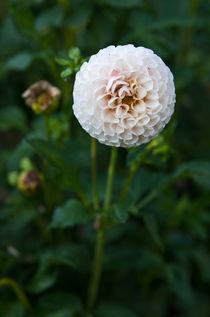 White dahlia by photogatar