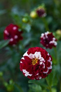 Red-white dahlia von photogatar