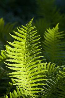 Shiny ferns von photogatar