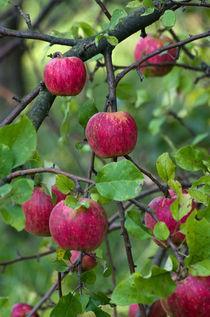 Red apples von photogatar