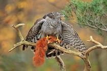 Northern Goshawk von bia-birdimagency