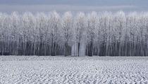 white trees by emanuele molinari
