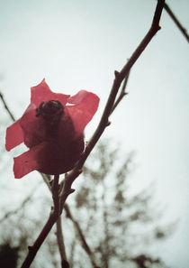 Rosehip by Sybille Sterk