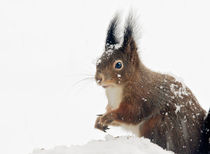 Squirrels in the snow von Barbara  Keichel