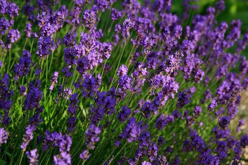 Lavender0241