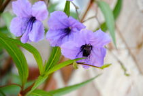 Lavender Bee by bibi-photo-hunter