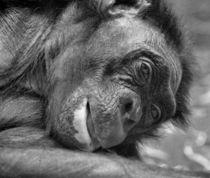 Schimpanse von steda-fotografie