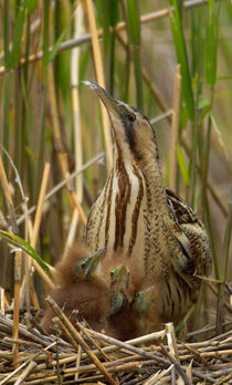Bittern family by Mati  Kose