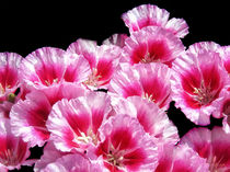 Sweet William Bouquet by Mary Lane
