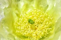Yellowyellow-cactus