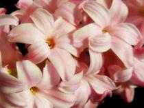 Pink-hyacinth