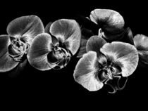 Silver-orchids