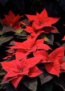 Weihnachtssterne von lorenzo-fp