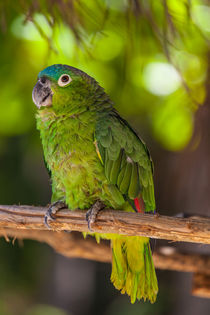 blue naped parrot von Craig Lapsley