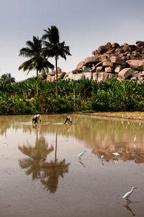 Rice Paddie In Hampi, India. by Tom Hanslien