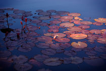 Water Lilies  by Carolyn McGraw