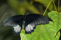 Great Mormon (Female) (Papilio memnon)  von Keith Cullis
