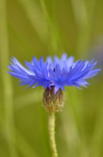 Kornblumen blau! by Eckart  Mayer