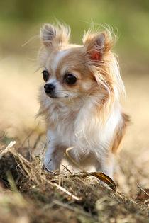 Chihuahua auf Wiese by tatze